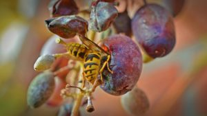 Wasp in a grape
