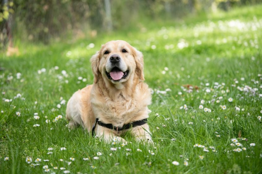 dog laying in field of flowers